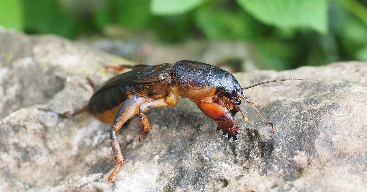 Danaburnu Nedir? Danaburnu Böceği İlacı ve Mücadelesi