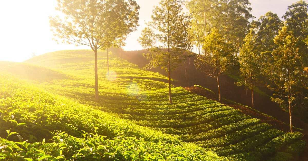 Çay Yetiştiriciliği Nasıl Yapılır?