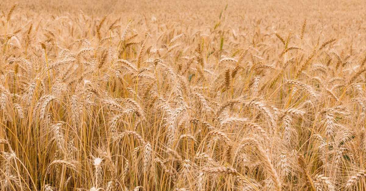 Buğday Borsası - Buğday Fiyatları