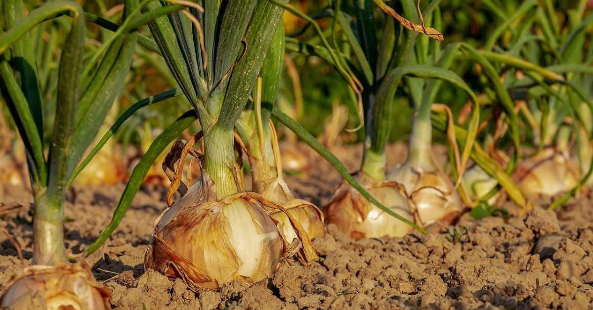 Soğan Yetiştiriciliği Nasıl Yapılır?