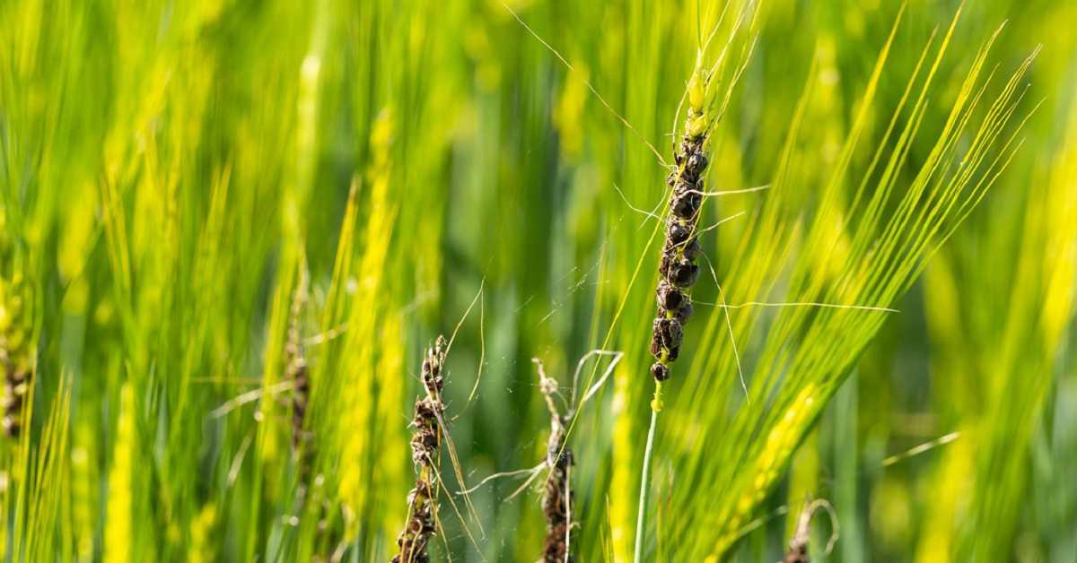 Buğday Rastığı Nedir? Hastalık Belirtileri ve Tedavisi