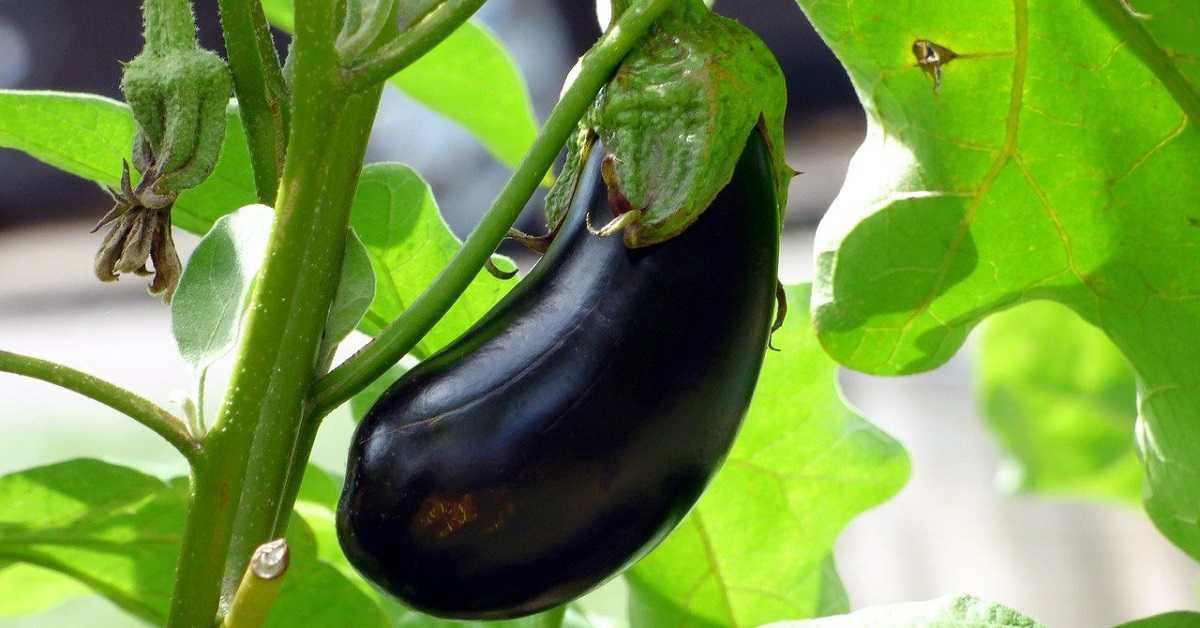 Patlıcan Yetiştiriciliği Nasıl Yapılır?