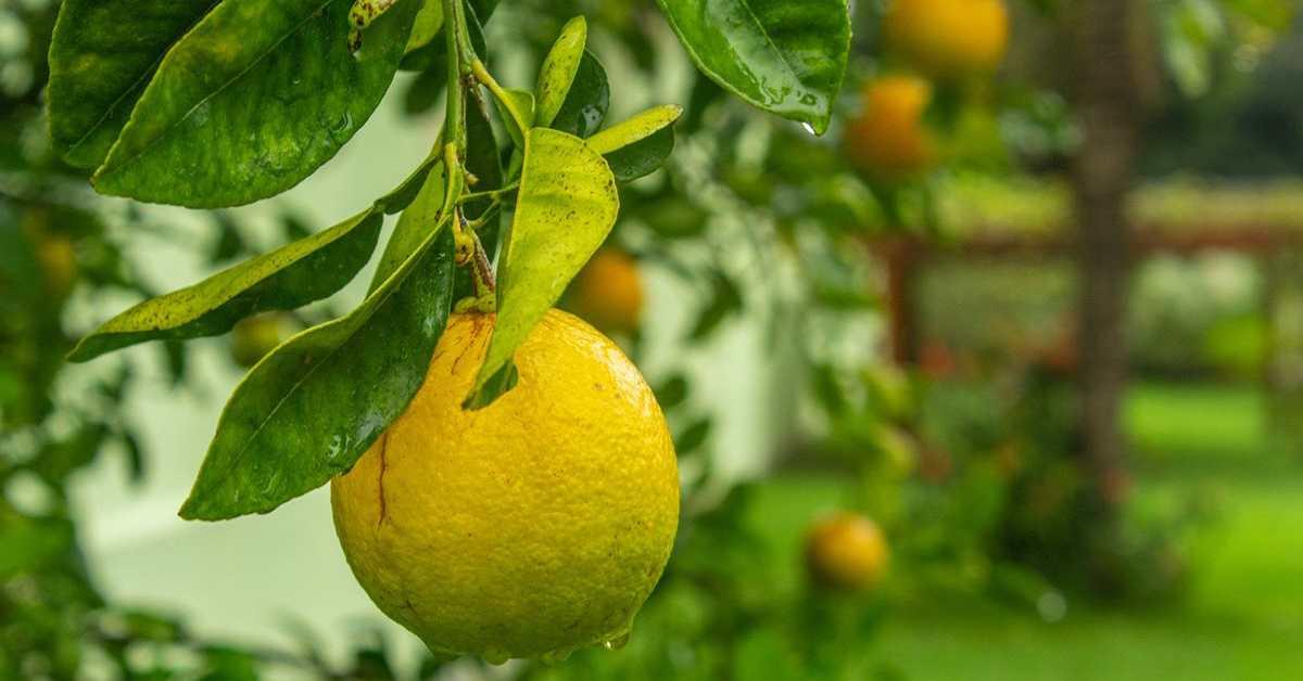 Limon Yetiştiriciliği Nasıl Yapılır?
