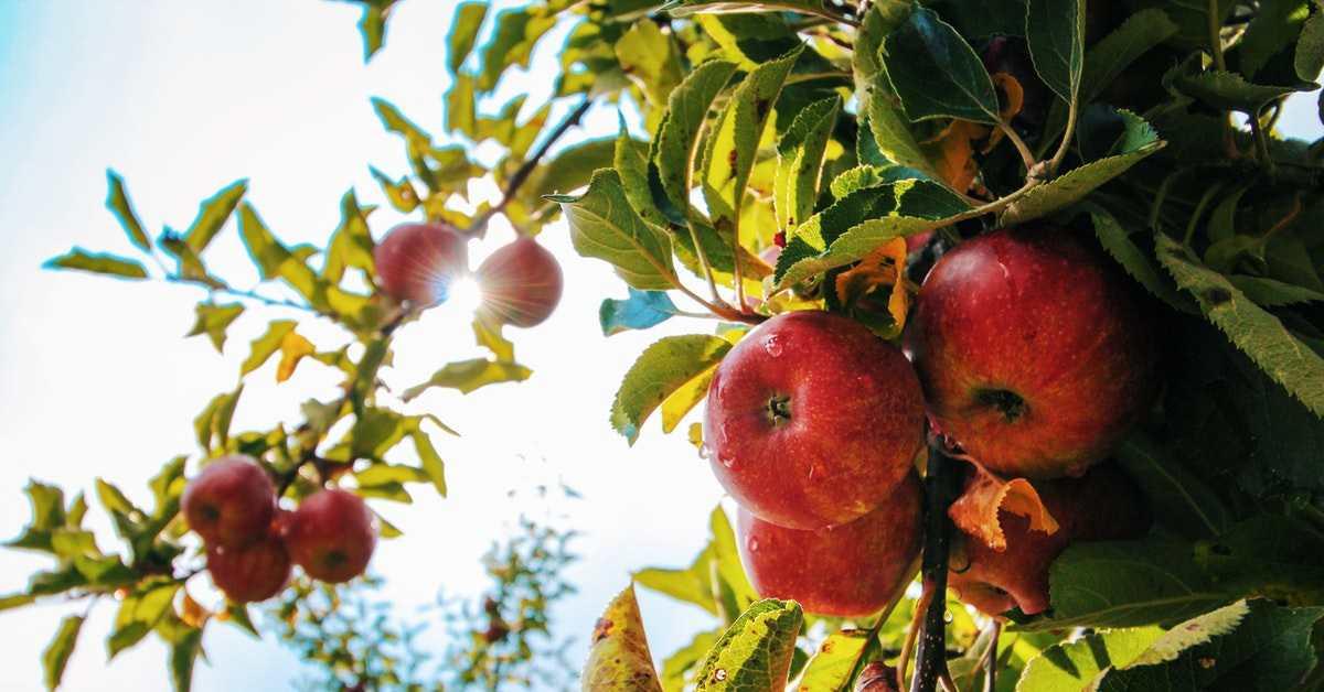 Elma Yetiştiriciliği Nasıl Yapılır?
