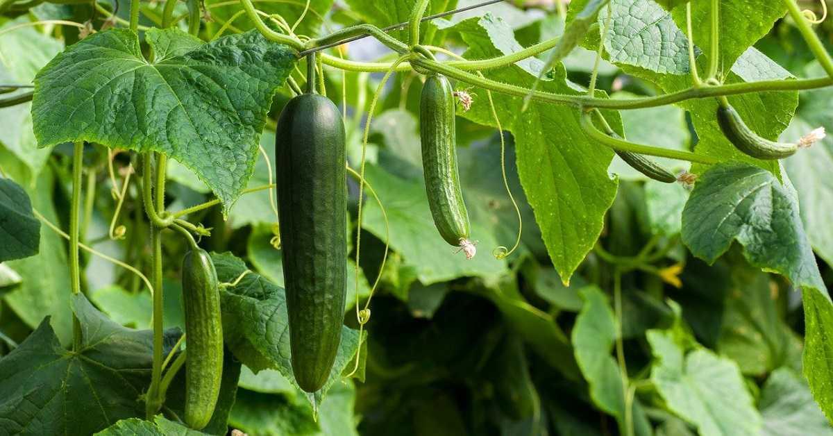 Salatalık Yetiştiriciliği Nasıl Yapılır?